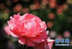 石家庄:春花渐次开 裕华路邀您赏花