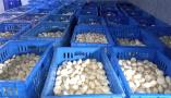 """日銷3000斤!濮陽范縣這個雙孢菇基地迎""""疫""""而售"""