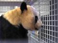 旅日大熊猫顺利返回家乡 一个月后将与公众见面