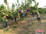 河北威县建十万亩梨产业带助力脱贫