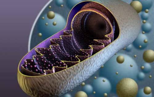 增加线粒体DNA数量或有助治疗男性不育