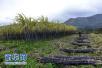 谁说蔗不过江?青岛人有自己的甘蔗吃了 亩产最高3万斤