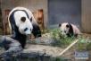 """排队看大熊猫""""香香""""!日动物园拟改变其参观方式"""