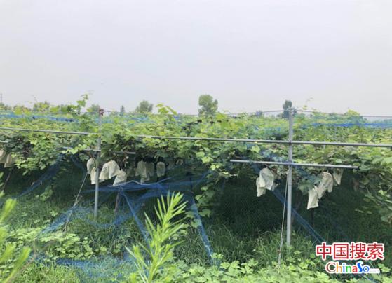郑州葡萄采摘好去处 富禧生态园葡萄熟了