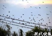 """看,八哥!南京这里的鸟群可以""""遮蔽天空"""""""