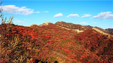 北京:八达岭进入红叶观赏期