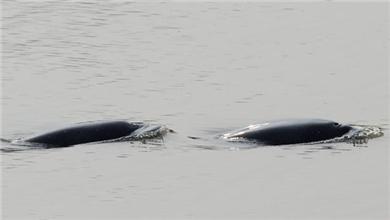 江西鄱阳 鄱阳湖水暖 江豚冬季罕见出没