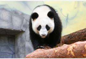 青藏高原上的熊猫馆成为亚博靠谱么8期间旅游热门打卡地